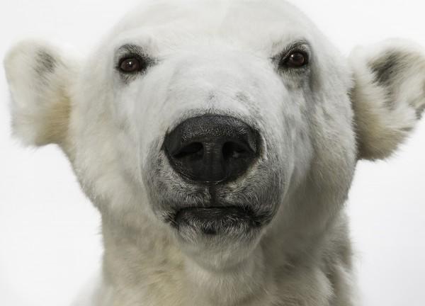 Postkarte Eisbär Knut Museum für Naturkunde