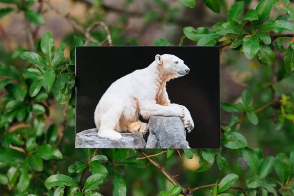Postkarte Eisbär Knut Querformat