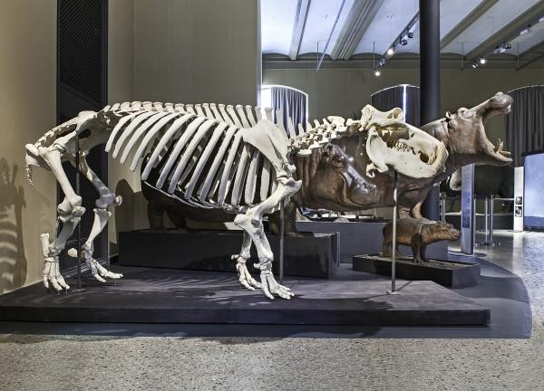 Postkarte Flusspferdgruppe und Skelett