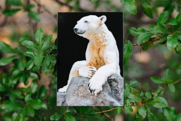 Postkarte Eisbär Knut Hochkant