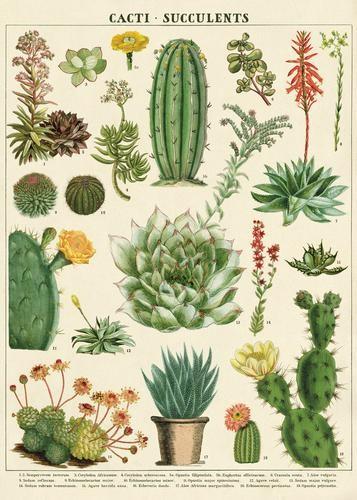 Cavallini Vintage Poster Succulents
