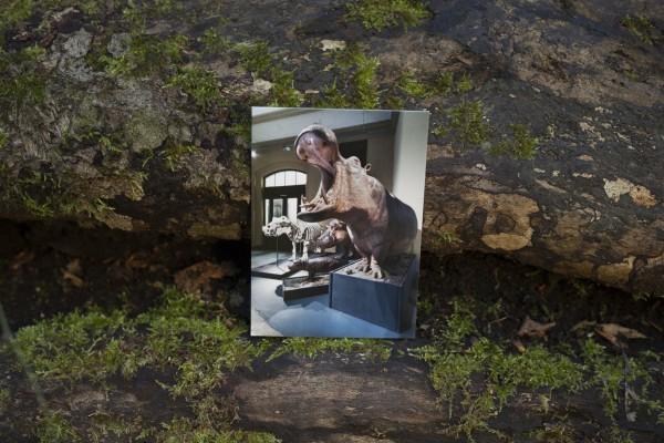 Postkarte Flusspferdbulle