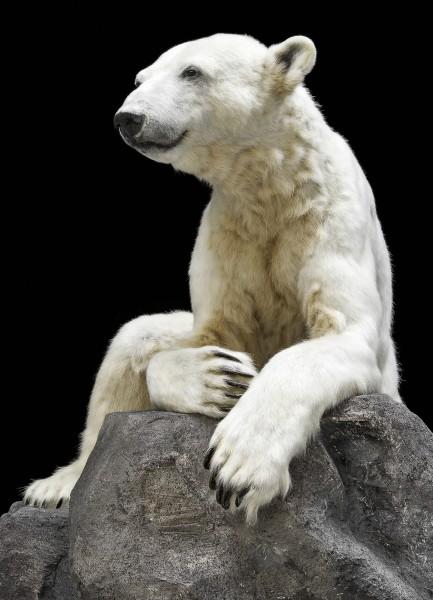 Postkarte Eisbär Knut Hochformat