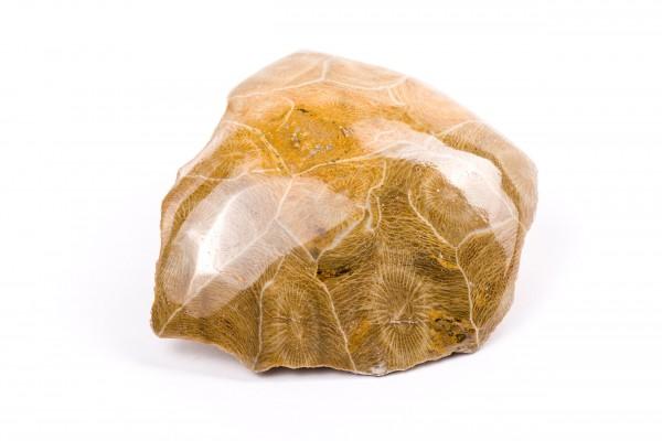 Koralle versteinert, Marokko Fossilien