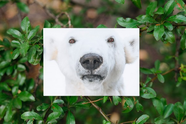 Postkarte Eisbär Knut