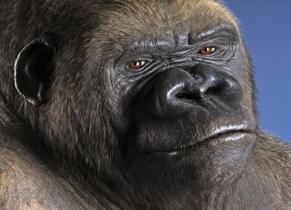 Postkarte Gorilla Bobby
