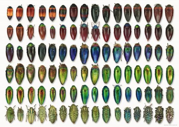 Käferposter mit Käfern aus der Sammlung des Museums