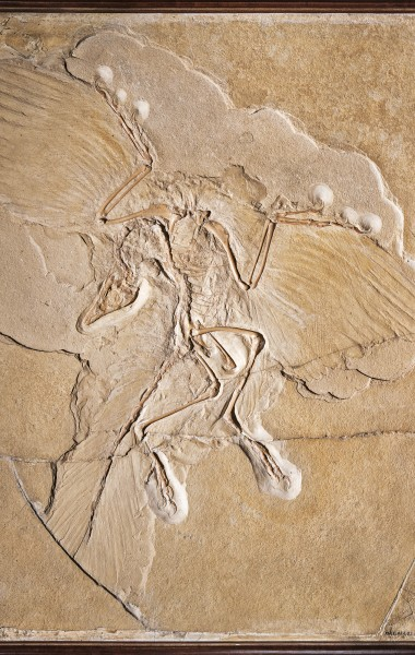 Poster Dinosaurier Archaeopteryx